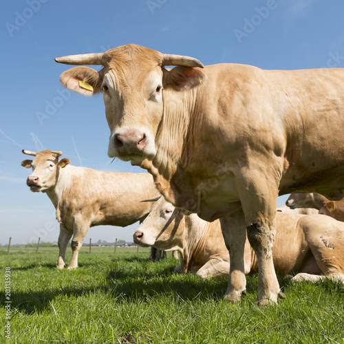 Photo beige blonde d'aquitaine cows in green grassy meadow under blue sky looking