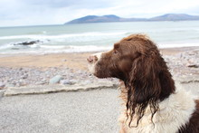 Spaniel On The Beach
