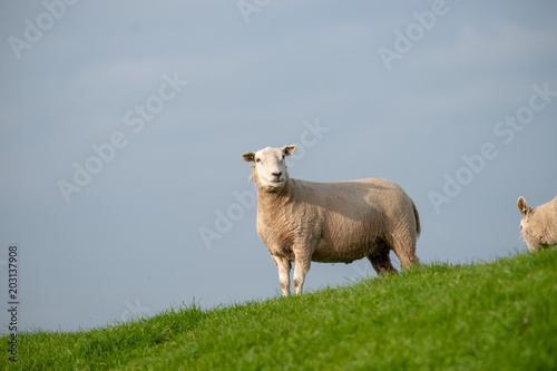 Fotobehang Schapen Grazing Sheep and lambs in a green grassland