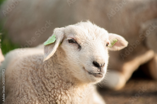 Foto op Canvas Schapen Grazing Sheep and lambs in a green grassland