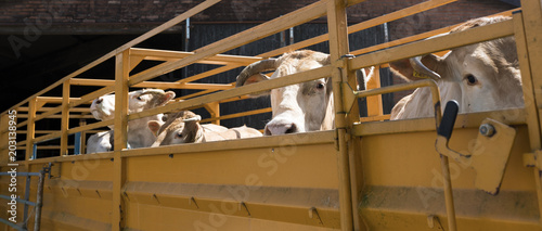 blonde d'aquitaine cows ready for transport in cart on farm