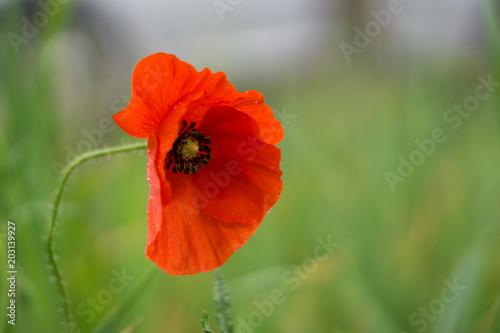 In de dag Poppy red poppies on a green field in spring