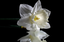 White Narcissus Flower On Blac...