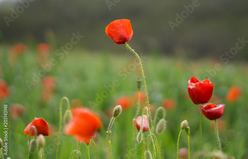 Plakat czerwone maki na zielonym polu wiosną