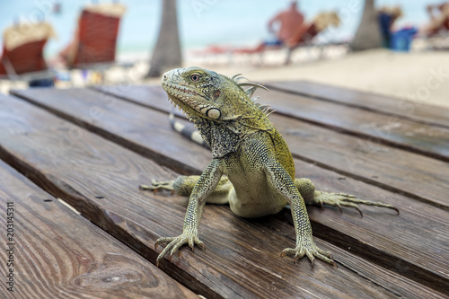 Green Iguana Sitting on a Picnic Table on Blue Bay Beach in Curacao, Caribbean Wallpaper Mural