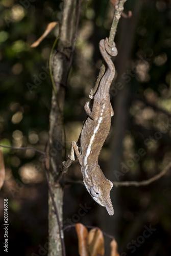 Caméléon épée, Calumma gallus, Madagascar