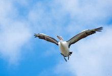 Australian White Pelican Flying Overhead On A Blue Sky With Cloudy Mist Background.