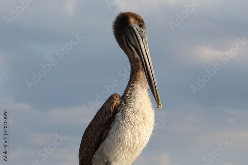 Brown headed pelican with cloudy sky background portrait profile Poster