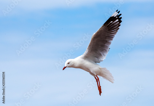 Seagull flying in the blue sky with wings outstretched.