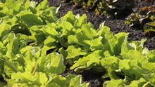 Celtuce (Lactuca Sativa Var. A...