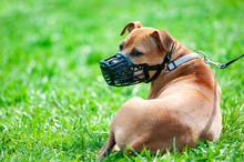 Pitbull Terrier In Muzzle