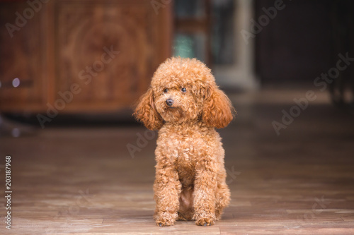 Fotografija cute toy poodle standing inside house and looking outside