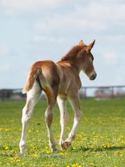 Chestnut Foal in a paddock