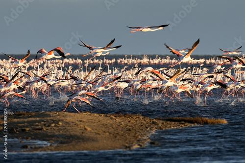 Kolonie Rosaflamingos (Phoenicopterus roseus), Pelican Point (Namibia)