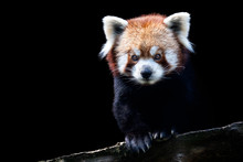 Portrait Of A Red Panda (Ailur...