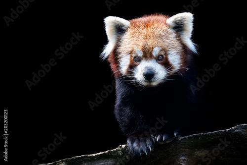 Portrait of a red panda (Ailurus fulgens) isolated on black background