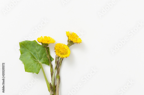 Coltsfoot with leaves and root on white background Tapéta, Fotótapéta