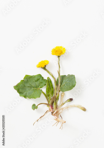 Valokuva  Coltsfoot with leaves and root on white background
