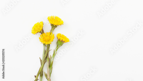Vászonkép Flowers coltsfoot on white background