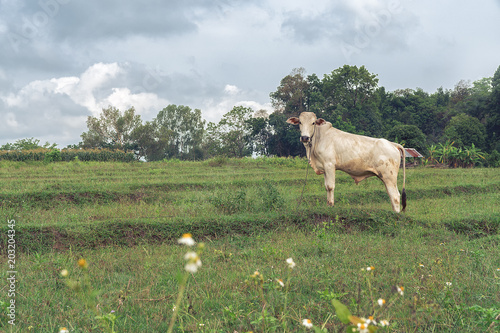 white cow in front in a green meadow in a countryside in thailand Wallpaper Mural