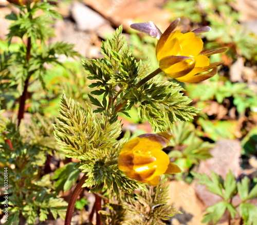 Photo Spring flowers of adonis in the sun