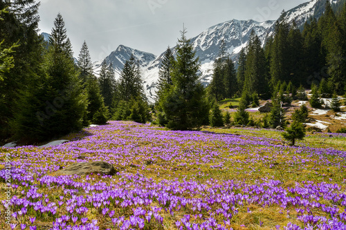 Deurstickers Zwart Field with flowers in mountain valley. Natural summer landscape, Colorful spring landscape in Carpathian mountains with fields of blooming crocuses. Marvelous outdoors sunrise in the mountain valley.