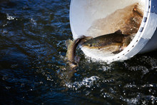 Fischbesatz Bachforelle
