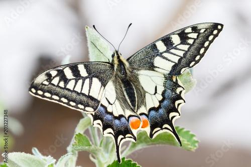 Mariposa. Macaón. Papilio machaon. Tablou Canvas