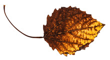 Decayed Dried Leaf Of Aspen Tree Isolated