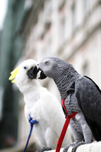 African Grey Parrot (Psihacus ...