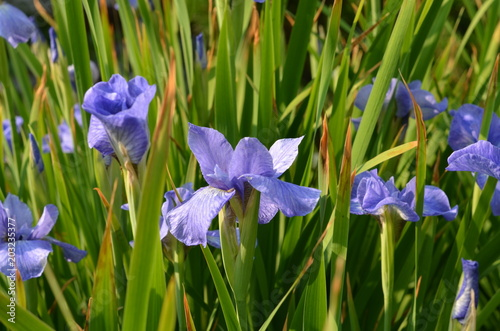 iris flowers on the garden