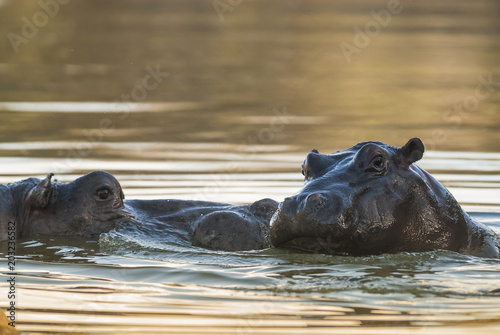 Poster Afrika Playing Hippopotamus , Kruger National Park , Africa
