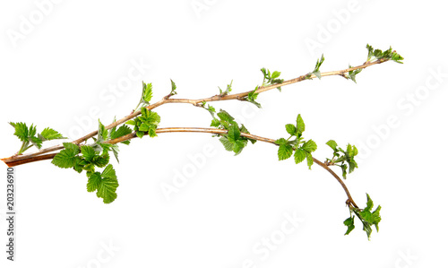 Fotografía  Branch of raspberry bush with foliage on isolated white background, close-up