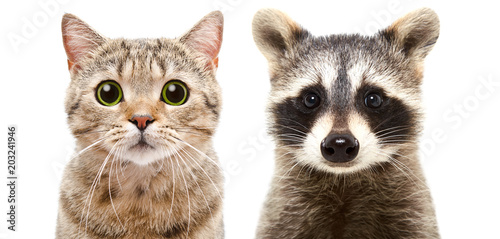 Photo  Portrait of a cute cat Scottish Straight and raccoon, closeup, isolated on white