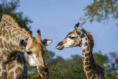 Giraffe in Kruger National park, South Africa Plakát