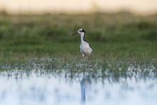 Black-necked Stilt, Patagonia,...