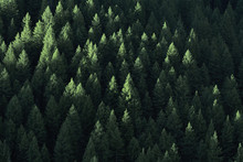 Forest In Wilderness Pine Trees