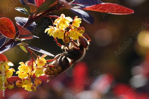 Photo hornet on berberis