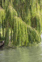 Willow Tree Branches Hanging O...