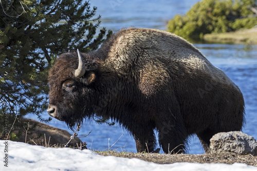 Fotografie, Obraz  Yellwostone bison along park river