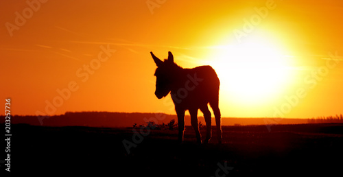 Silhouette donkey on sunset