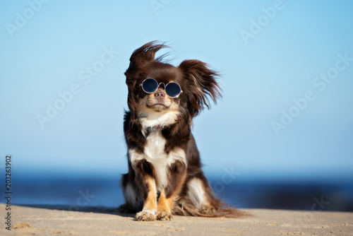 Foto funny chihuahua dog in sunglasses posing on a beach