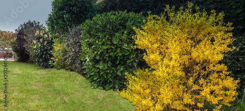 Fotomural haie de buisson fleuri et vert, au jardin