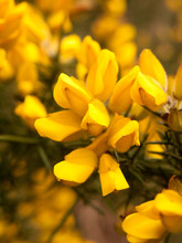 Close Up Detail Of Yellow Gorse Broom Flower Heads Macro