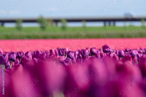 Field of purple and pink tulips in holland