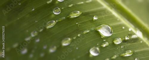 Obraz Naturel et écologique. Gros plan de gouttes et gouttelettes de pluie sur une feuille verte. Arrière plan vert. - fototapety do salonu