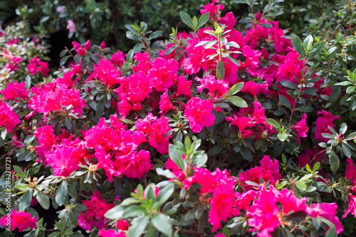 Foto op Canvas Azalea Pink azalea flower blossoms or rhododendron tree all over the field, background