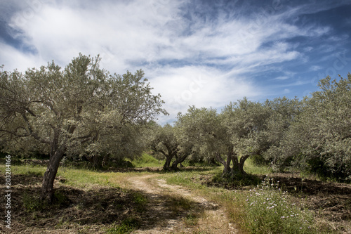Tuinposter Olijfboom olive trees in Sicily area of Syracuse