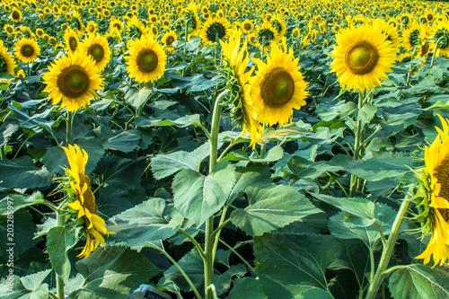 Foto op Plexiglas Olijf 向日葵