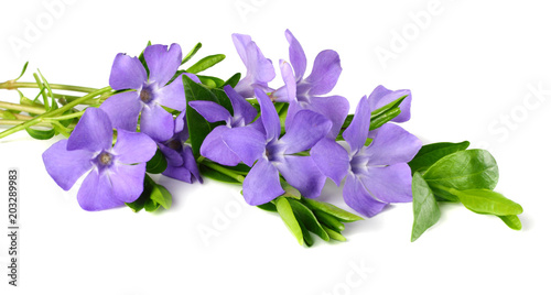 Fotografía  Bouquet of blue periwinkle with green leaves isolated on white background
